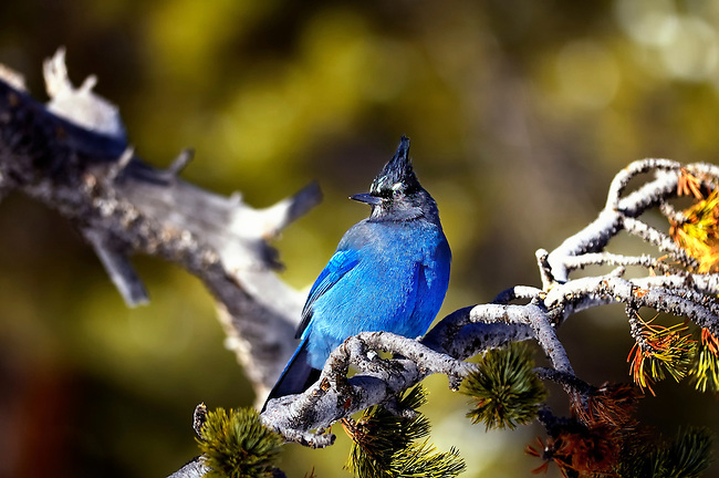 Blue stellar jay sitting on a branch in Rocky Mountain National Park, Colorado