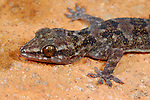 Leaf-toed Gecko (Hemidactylus granti) endemic of Socotra, Yemen.