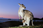 Australia, NSW, Murramarang National Park, Eastern gray kangaroo with joey in pouch on beach at dawn, mother showing tongue, joey looking out of pouch