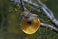 A Verdin, Auriparus flaviceps, feeding on an orange; Sonoran Desert, Arizona