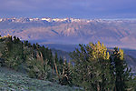 First light on Bristlecones & Sierra Nevada from the Ancient Bristlecone Pine Forest, White Mountains, CALIFORNIA