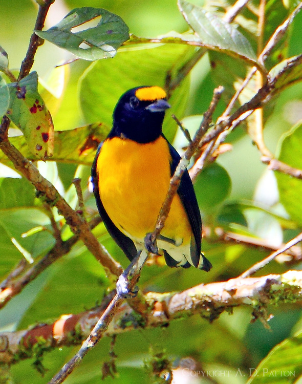 Adult male white-vented euphonia