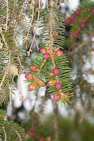 Gewöhnliche Fichte, Rot-Fichte, Rotfichte, Picea abies, weibliche Blüten, Zapfen, Nadeln, Blätter, Common Spruce