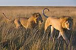Male lions (Panthera leo) walking in dry grassland at sunrise, Maasai Mara, Kenya
