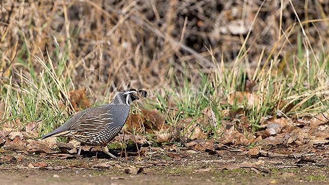 California quails are a common sight in Pinnacles National Park.