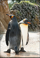 BNPS.co.uk (01202 558833)<br /> Pic: PhilYeomans/BNPS<br /> <br /> Shower time...<br /> <br /> Staff at Birdland Park and gardens in the heart of the Cotswolds have come up with some ingenious solutions to keep Britain's only colony of King Penguins nice and cool as the temperatures soar across the country. <br /> <br /> Ice blocks have been deployed to keep the flightless birds feet happy in the roasting temperatures - and a queue forms at the cooling shower every day as the hot spell continues.