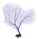 X-ray image of a purple sea fan (purple on white) by Jim Wehtje, specialist in x-ray art and design images.