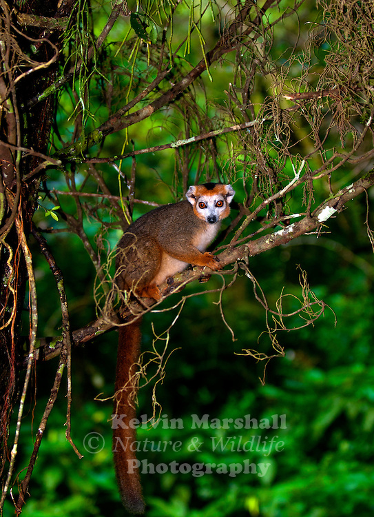 The Crowned lemur (Eulemur coronatus) is a lemur that is 31&ndash;36 cm (12-15 inches) long and weighs 2 kg. Its tail is about 42&ndash;51 cm long. The crowned lemur is endemic to the dry deciduous forests of the northern tip of Madagascar. <br /> E. coronatus can be found anywhere in the tropical dry forests of the Ankarana Reserve to the mid-altitude rainforests of Montagne d'Ambre. They can be found at altitudes between sea level and 1,400 m. Crowned lemurs live in sympatry with the Eulemur sanfordi (Sanford Brown Lemur), sharing the same habitat. Montagne d'Ambre National Park - Northern Madagascar.