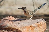 Greater Roadrunner (Geococcyx californianus) on a rock in Clark County Wetlands Park, Las Vegas, Nevada.