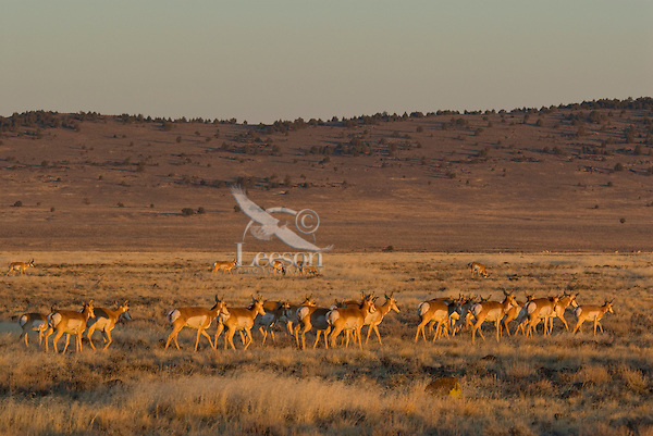 Pronghorn Antelope (Antilocapra americana) herds gather in large groups in late fall before migrating to areas with less potential for deep snow.  Here they gather on the grasslands below Poker Jim Ridge on the Hart Mountain Antelope Refuge before migrating to the Sheldon National Wildlife Refuge 40 miles south.  In light winters many will not migrate at all.  Photo taken in early morning--first light.
