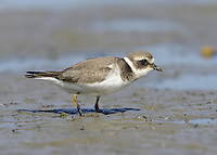 Ringed Plover Charadrius hiaticula -Juvenile L 17-19cm. Small, dumpy coastal wader. Runs at speed before pausing and picking food item from ground. Note white wingbar in flight. Sexes are separable. Adult male in summer has sandy brown upperparts and white underparts with black breast band and collar. Has black and white markings on face, and white throat and nape. Legs are orange-yellow and bill is orange with dark tip. Adult female in summer is similar but black elements of plumage are duller. Winter adult is similar to summer adult but most black elements of plumage are sandy brown, and has pale supercilium. Leg and bill colours are dull. Juvenile is similar to winter adult but breast band is often incomplete. Voice Utters a soft tuu-eep call. Status Locally common. Nests mainly on sandy or shingle beached, sometimes inland. Coastal outside breeding season; numbers boosted by migrants from Europe.