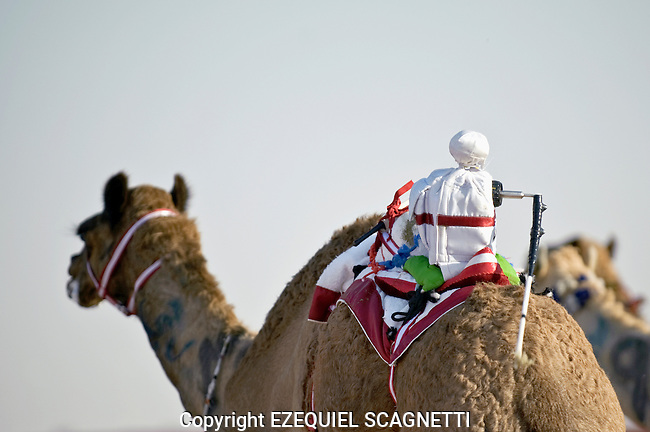 Dubai - United Arabs Emirates - 24 November 2008 ..Robot controled camel race in Dubai...Photo: EZEQUIEL SCAGNETTI.