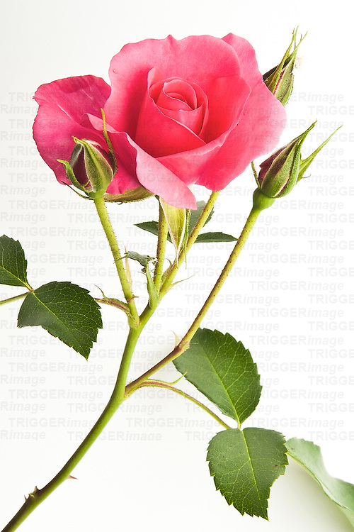 Single rose flower on white background