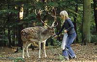 Damhirsch, Dam-Hirsch, Damwild, Dam-Wild, Hirsch, Kind füttert zahmes Tier im Wildpark, Cervus dama, Dama dama, fallow deer