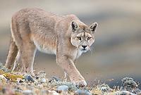 Patagonia 2016 Pumas