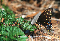 03009-007.01  Black Swallowtail (Papilio polyxenes) female laying eggs on Parsley (Petroselinum crispum)  Marion Co. IL