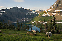 Mountain Goat (Oreamnos americanus) nanny and kid above Hidden Lake.  Glacier National Park, Montana.  Summer.