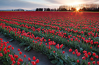 Dawn breaks over a field of red tulips, Mount Vernon, Skagit Valley, Skagit County, Washington, USA