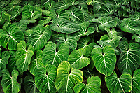 Close up of tropical leaves. Hoomaluhia Botanical Gardens. Oahu, Hawaii