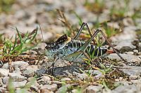 Wanstschrecke, Männchen, Polysarcus denticauda, Orphania denticauda, Large saw tailed bush cricket, Large saw-tailed bush-cricket, male, Tettigoniidae