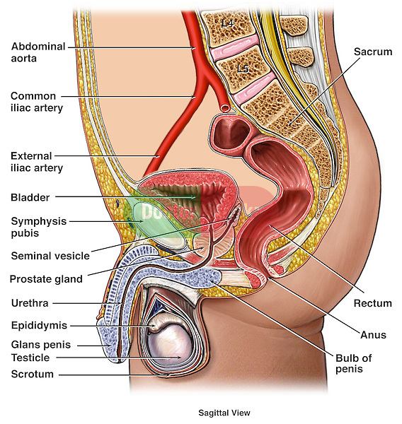 Anatomy of the Male Urogenital (Reproductive) System. This full color medical illustration depicts the anatomy of the male urogenital (genitourinary) system in a sagittal (side cut-away) view. This illustration includes the abdominal aorta, common iliac artery, external iliac artery, bladder, symphysis pubis, seminal vesicle, prostate gland, urethra, epididymis, glans penis, testicle, scrotum, sacrum, rectum, anus and bulb of the penis.