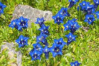 Westlicher Glocken-Enzian, Westlicher Enzian, Westlicher Glockenenzian, Gentiana occidentalis, Gentiana quinquefolia ssp. occidentalis, Pyrenean trumpet gentian, Western flower Gentian