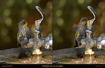 "Audubon's Warbler ""Steppin' up to the Bar"" Southern California"