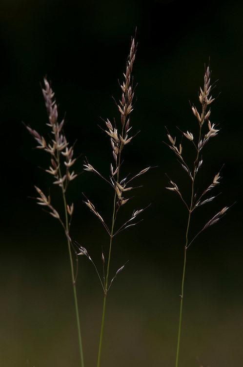Meadow oat grass, Helictotrichon pratense, in traditional hay meadow. Clattinger Farm, Wiltshire. UK. This habitat has been reduced by 98% in the UK since the Second World War. This is largely due to the intensification of farming practices.