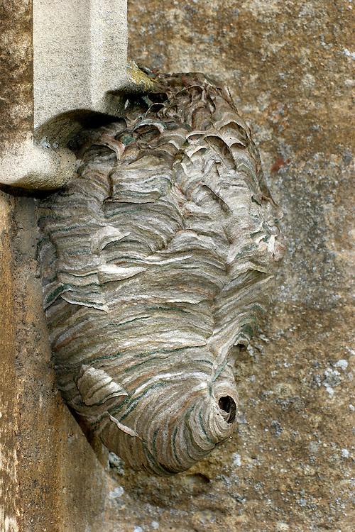 Median Wasp - Dolichovespula media - nest