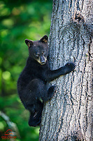 "Black Bear (Ursus americanus) cub descends from his ""safe place"" high in a tree.  Northern Minnesota."