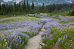 Mount Rainier National Park,  WA  <br /> Path through a wildflower filled meadow on Mazama ridge on Mt. Rainier