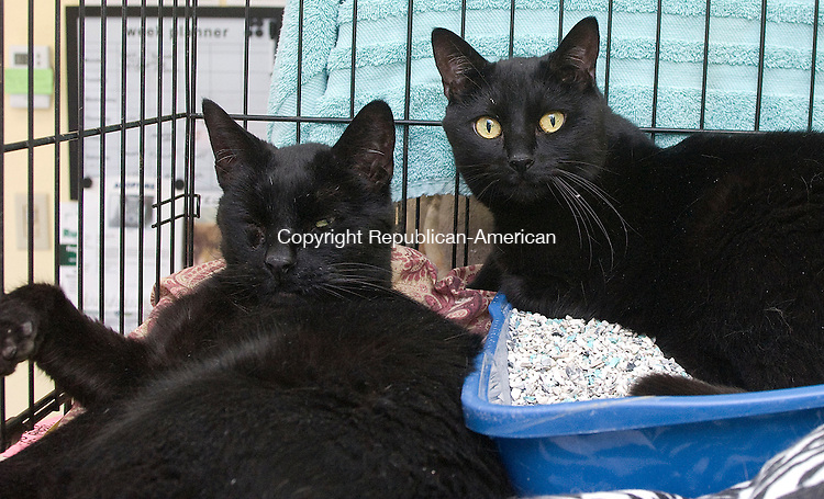 MIDDLEBURY CT-APRIL 07 2011 - 042411DA02(Pound by Town)  My name is Hershey, left, I am a male 9 years old, and my cell mate is Blackie who is 5, we were found along with our other friend, Midnight, locked up in an empty home with no one to care for us. The 3 of us are wonderful loving cats that get along with other animals and just want to cuddle up on your lap. Please come and meet us at Middlebury Animal Control facility 203-758-2934.<br /> Darlene Douty Republican-American
