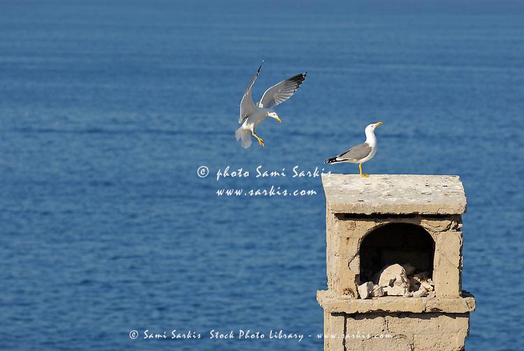 Couple of Seagulls landing on wall overlooking Mediterranean sea, France