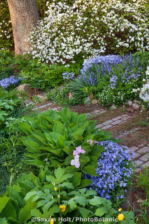 Native wildflowers, Trillium grandiflora, native Phlox divaricata, Celandine Poppy along the pathway, spring woodland garden, Boninti Garden, Virginia