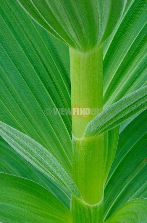 Corn Lily or False Hellebore, Cascade Mountains, Washington.