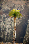 .Young dragon's blood tree (dracanea cinnabari) on the Diksam plateau. Socotra island. Yemen