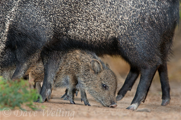 650520184 a wild baby javelina dicolytes tajacu interacts with its mother on beto gutierrez ranch hidalgo county texas united states