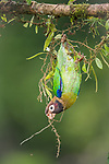 """HIDE AND HANG..... A parrot plays hide and seek from it's mate by hanging down from underneath a branch it is perched on.<br /> <br /> The brown-hooded parrots were spotted in Costa Rica, close to fruit feeder for tucans which they were using as a food source, by photographer Petr Simon, 46.<br /> <br /> Petr from Cerveny Kostelec, Czech Republic said, """"It looked like the pair were playing a game.""""<br /> <br /> After hanging from the branch for a short while the birds flew off to feed.<br />  <br /> Please byline: Petr Simon/Solent News<br /> <br /> © Petr Simon/Solent News & Photo Agency<br /> UK +44 (0) 2380 458800"""