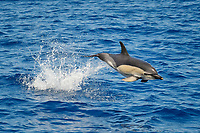 Short-beaked Common Dolphin, Delphinus delphis, breaching clear of the water, west of Faial Island, Azores, Atlantic Ocean