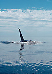 Orca whale, Orcinus orca; Salish Sea, Puget Sound, Washington State, Pacific Northwest, North America,.