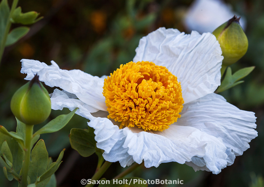 Romneya coulteri, Matilija Poppy, white flowering California native perennial