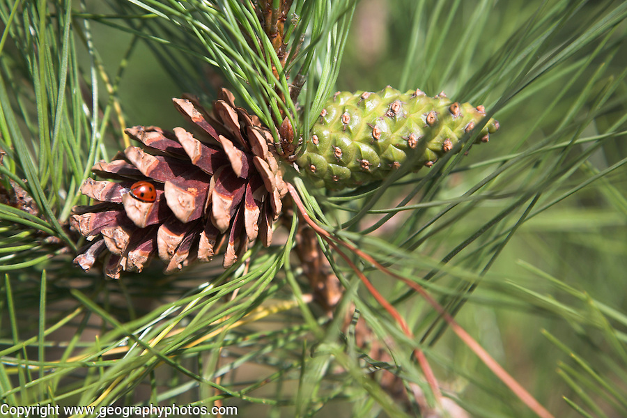 Scots pine  tree cone close up