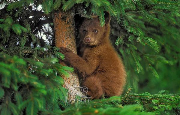Black Bear cub in sitka spruce tree..Cinnamon color phase. Coastal British Columbia, Canada..(Ursus americanus).