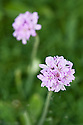 Thrift or sea pink (Armeria maritima), late April.