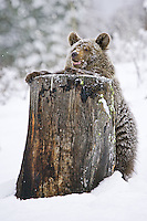 Young Grizzly Bear (ursus arctos horribilis) standing up against a snowy tree stump - Captive Animal