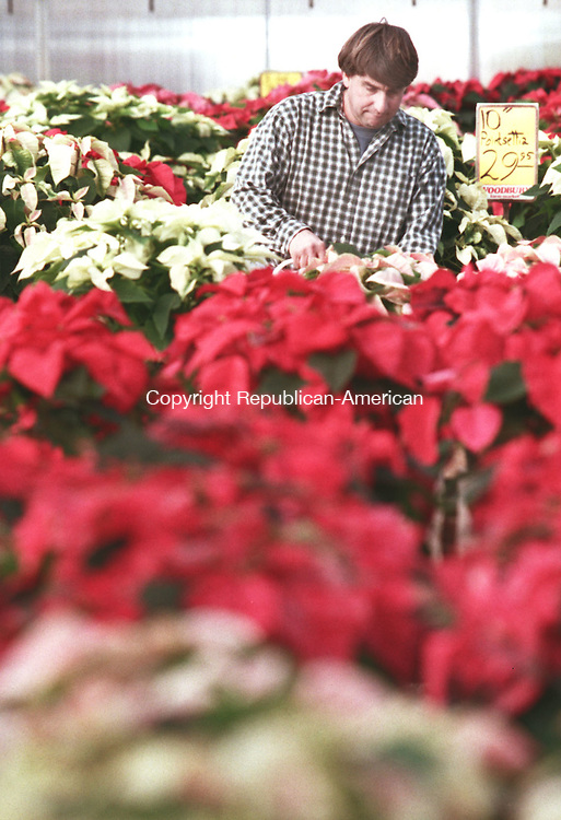 WATERBURY, CT 11/22/98--1122DC07.tif Joe Donato of the Woodbury Farmers Market tends toa patch of pointsettias 22 November in Woodbury.-DOUG COLLIER staff photo (Filed in Scans/Scan-In)