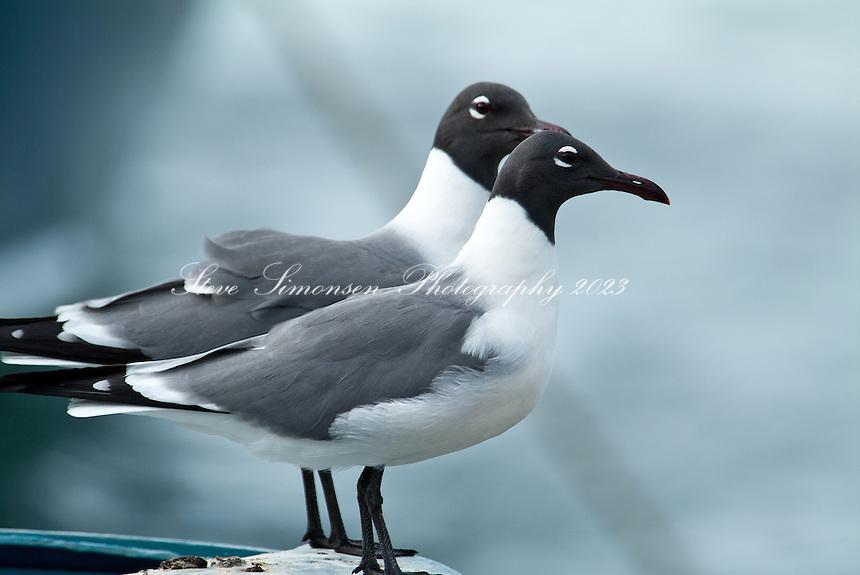 Laughing gulls at Cooper Island.BVI