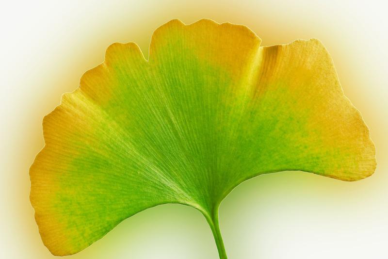Fall colored Ginko leaf (Ginko biloba). Tigard. Oregon