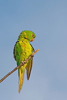 566700074 a wild green parakeet aratinga holochlora perched in a tree in laredo webb county texas united states