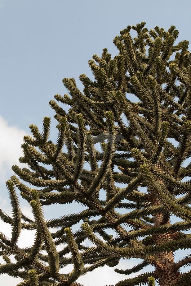 Slangenden of apenboom (Araucaria araucana)